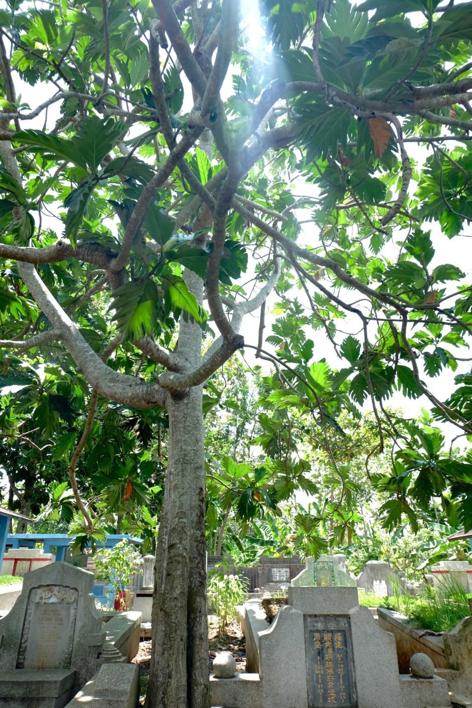 Sukun tree