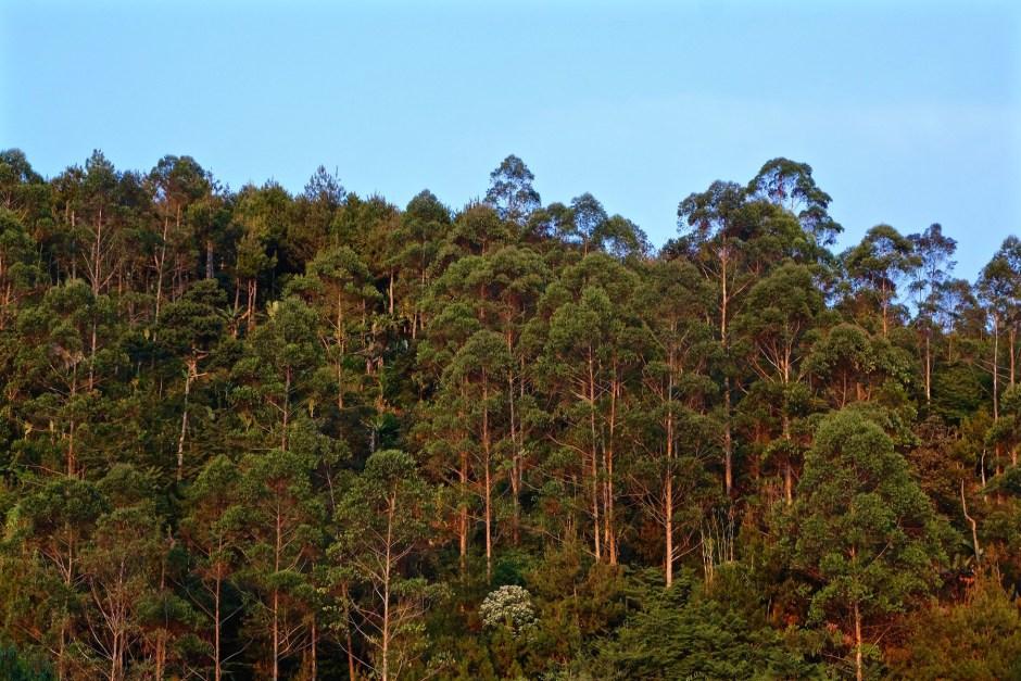 Trees Legok Kondang