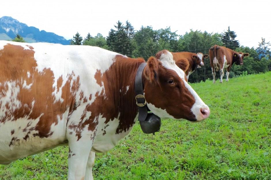 Cow in Switzerland Gruyere