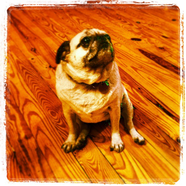 Tallulah, ASMPNY's official mascot #asmpny #photography #pug #dog #cute