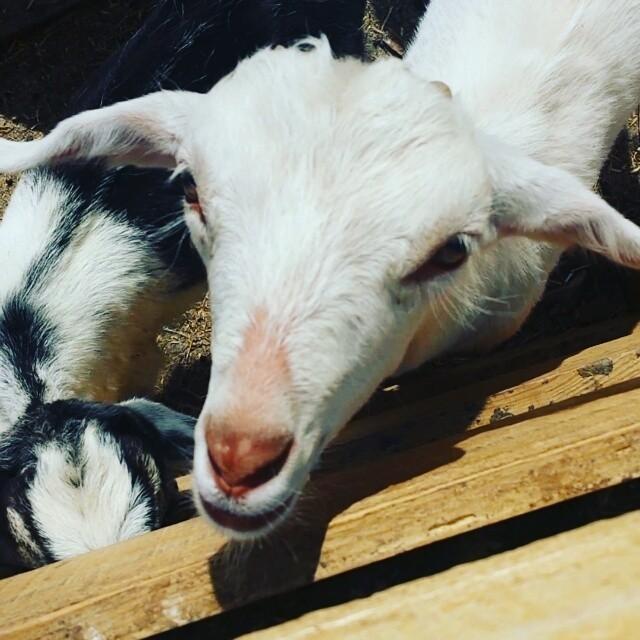 Baaahhhh #goats #farm #northfork #longisland #newyork #cute