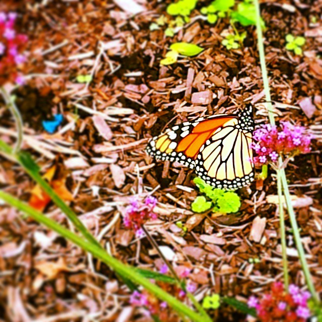 Monarch Butterfly #beauty #nature #floral #pretty #nyc
