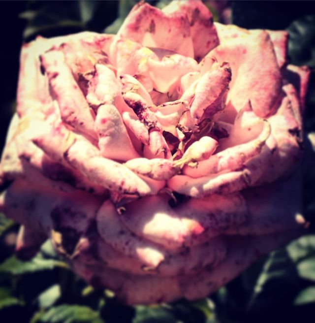 Beauty Fades #nybg #rosegarden #botanicalgardens #beauty #color #roses #decay #faded