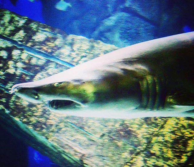 Shark !  #shark #liaquarium #sandshark #longisland #hamptons #jaws #blue