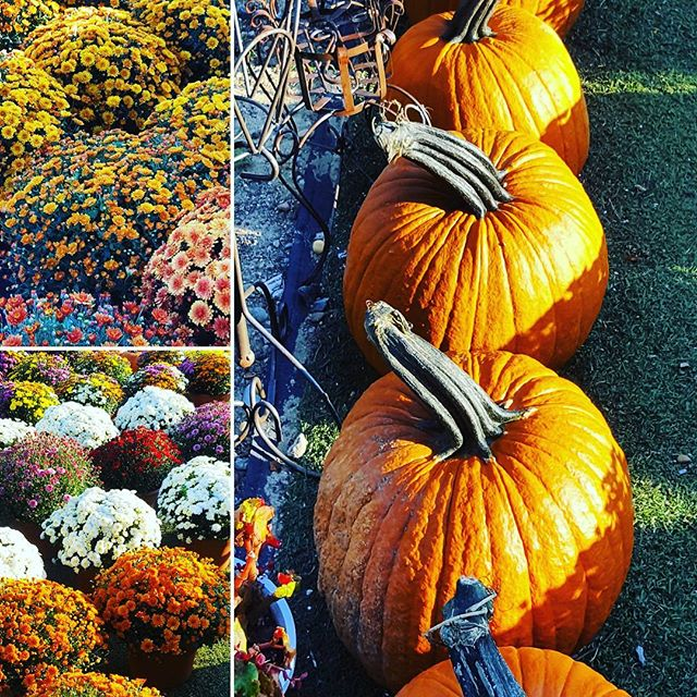 Fall Colors #orange #hamptons #nofo #sofo #hamptonbays #longisland #goodbyesummer #hellofall #pumpkins #mums