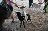 When they brought out the milk bottles, the goats were so excited!
