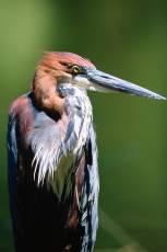 mp-bird-ibis-002-14