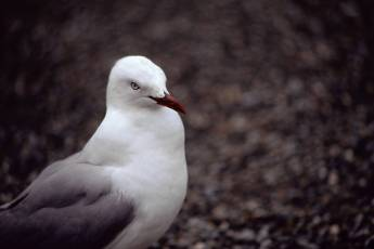 mp-bird-seagull-001-18