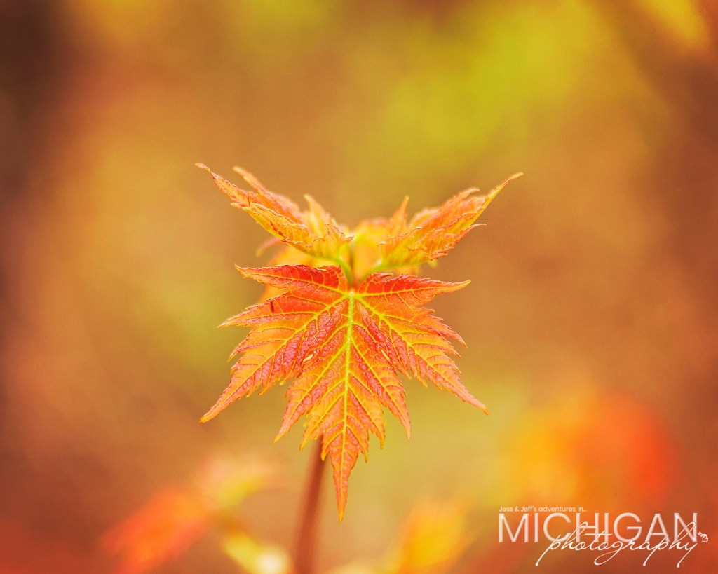 A little Maple Tree at the Pinckney State Recreation Area