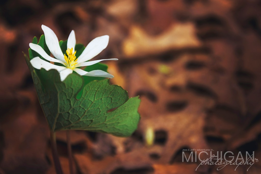 Bloodroot Flower or, Sanguinaria Canadensis if you like Latin.