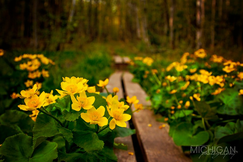 A view of the Marsh Marigolds found on the Lost Lake Trail in the Porcupine Mountains.