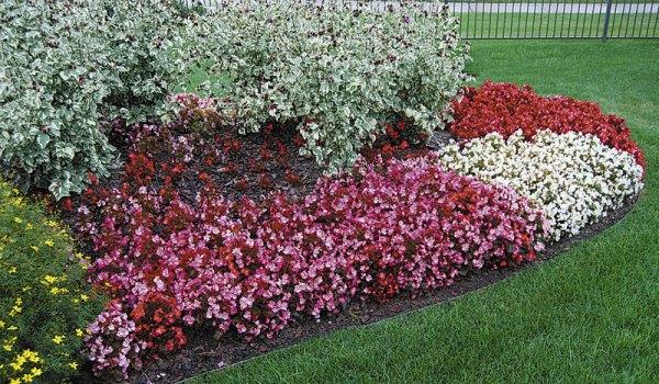 red leaf ground cover - garden