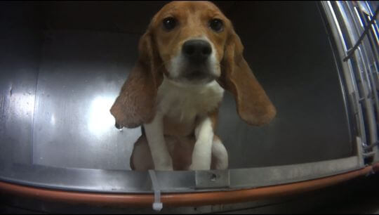 Dog being tested on in Michigan lab.