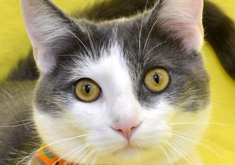 Cat Adoption Fees Are Waived May 24 and 25