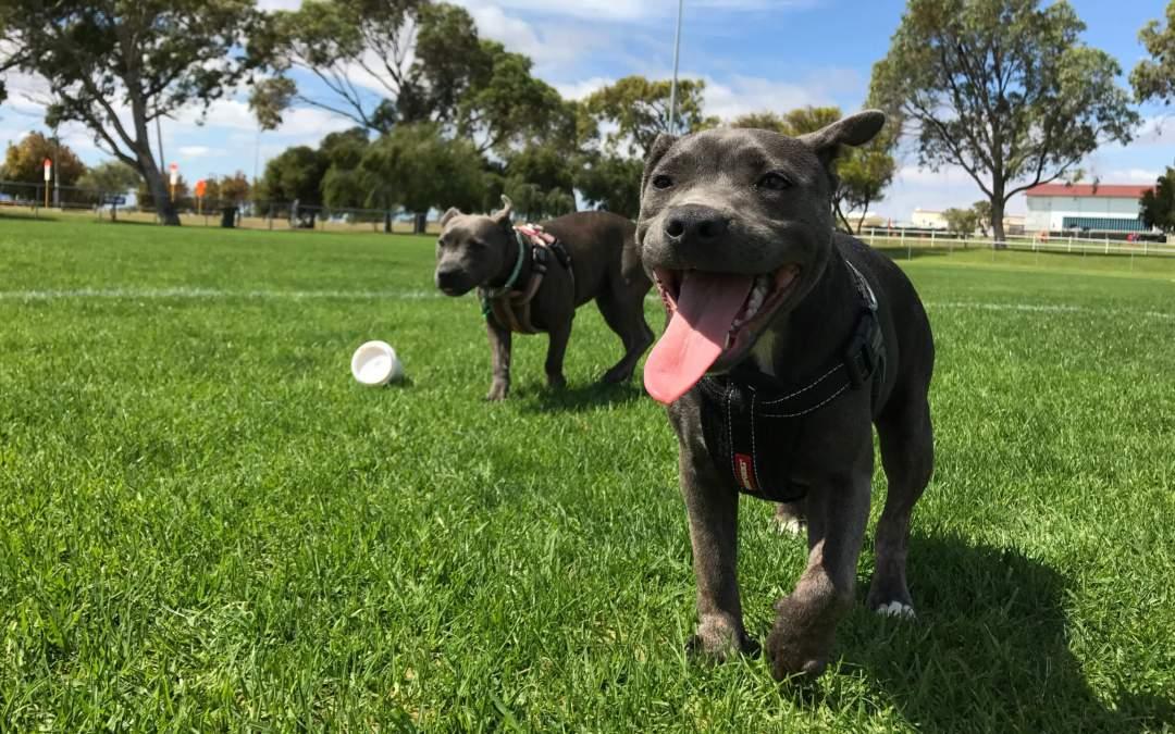 Dogs running on grass.