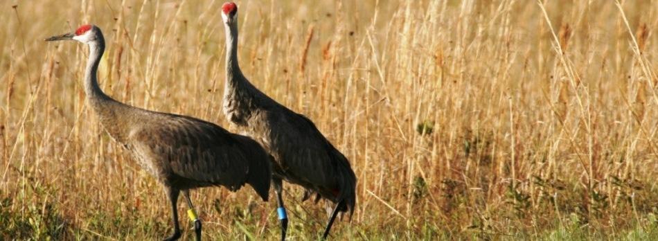 Update: A sandhill crane hunt?