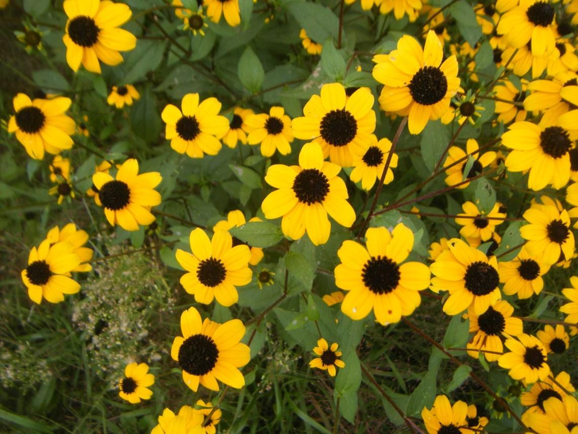 Species By Seasons Michigan Wildflower Farm