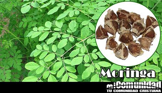 Propiedades curativas y medicinales de la Moringa