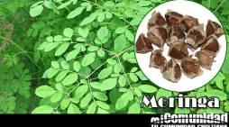 As propriedades curativas e medicinais da Moringa