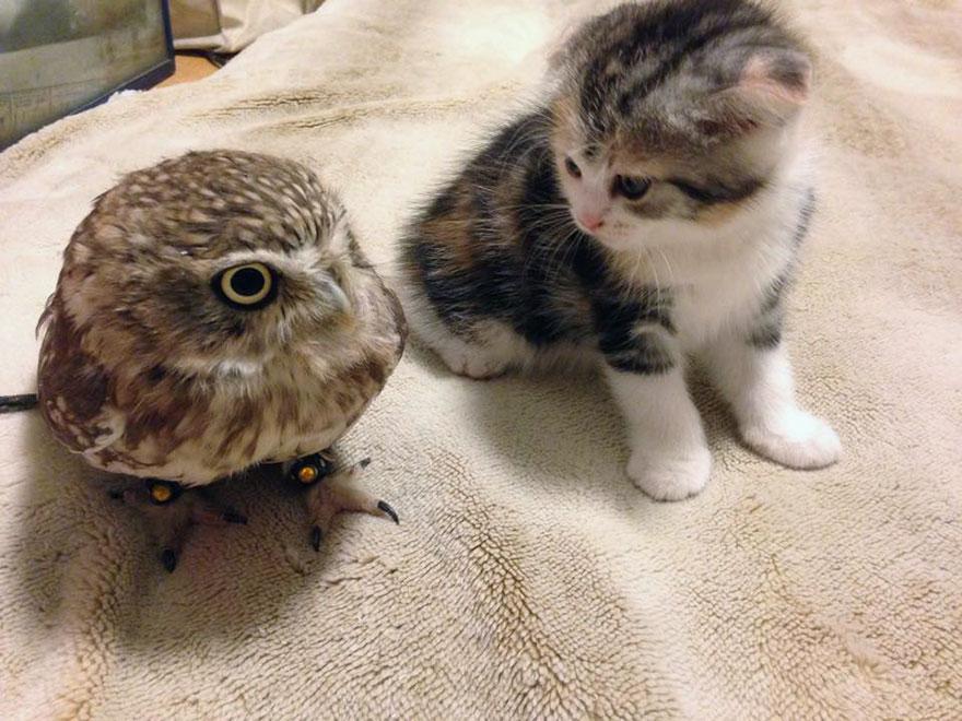 Búho y un gatito Se Convierten En Mejores  Compañeros De Siesta