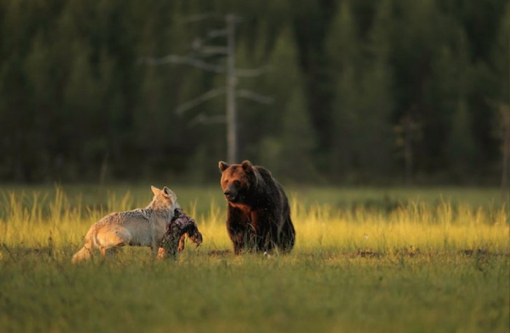 Asombrosa amistad entre un Oso y una Loba es documentada por un fotógrafo