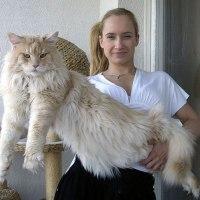 19 Gatos Maine Coon que hacen diminuto a tu Gato.
