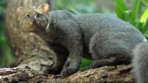 felinos-salvajes-inusuales-11
