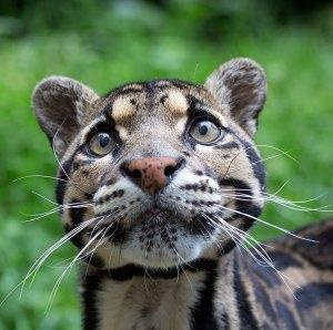 felinos-salvajes-inusuales-16