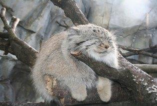 felinos-salvajes-inusuales-2