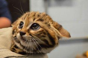 felinos-salvajes-inusuales-5
