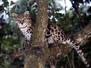 felinos-salvajes-inusuales-6