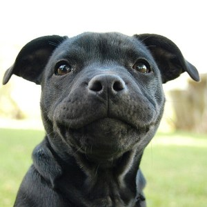 foto-pitbull-adorable8