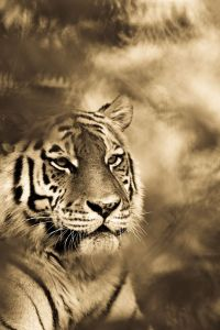 big-cats-ive-spent-10-years-photographing-these-wild-and-loving-creatures-12__880