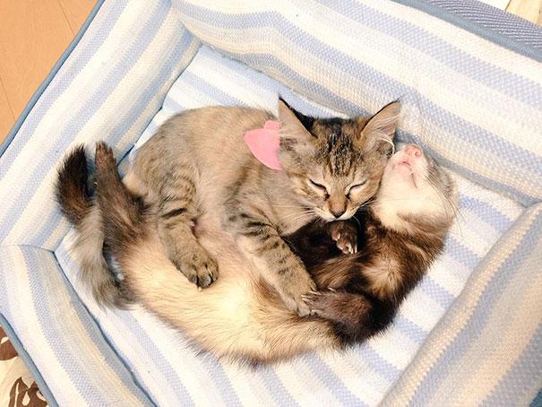 gato-komari-adoptado-familia-hurones-18