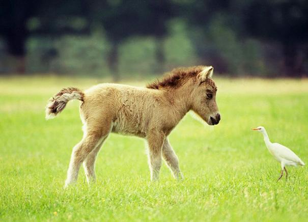 mini-caballos-11