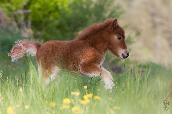 mini-caballos-15