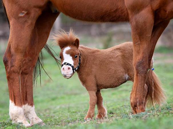 mini-caballos-6