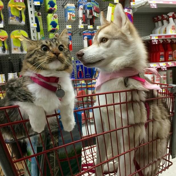 gato-rosie-amistad-3-perros-huskies-2