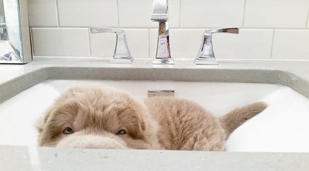 perro-adorable-sharpei-parecido-oso-tonkey-5