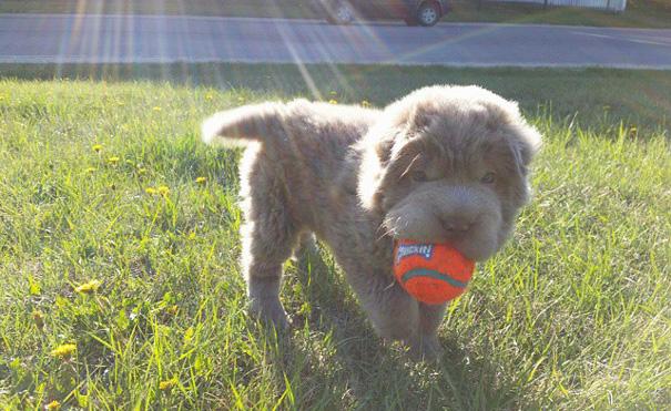 perro-adorable-sharpei-parecido-oso-tonkey-6