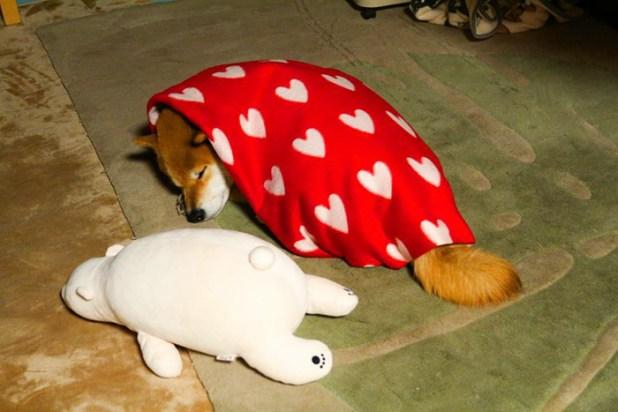 perro-shiba-inu-maru-dormir-igual-oso-peluche-1