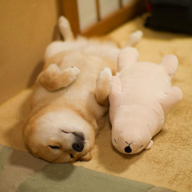 perro-shiba-inu-maru-dormir-igual-oso-peluche-6