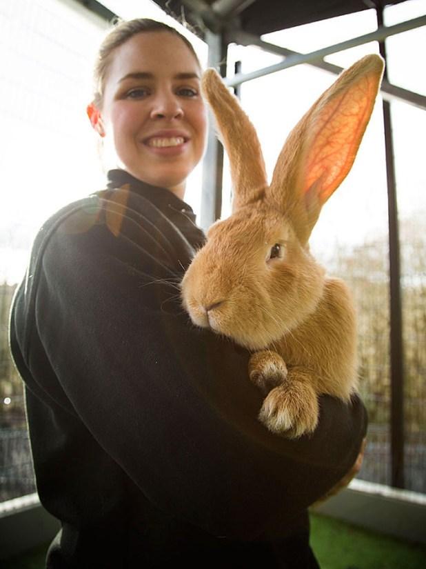 adopcion-conejo-gigante-continental-atlas-spca-1
