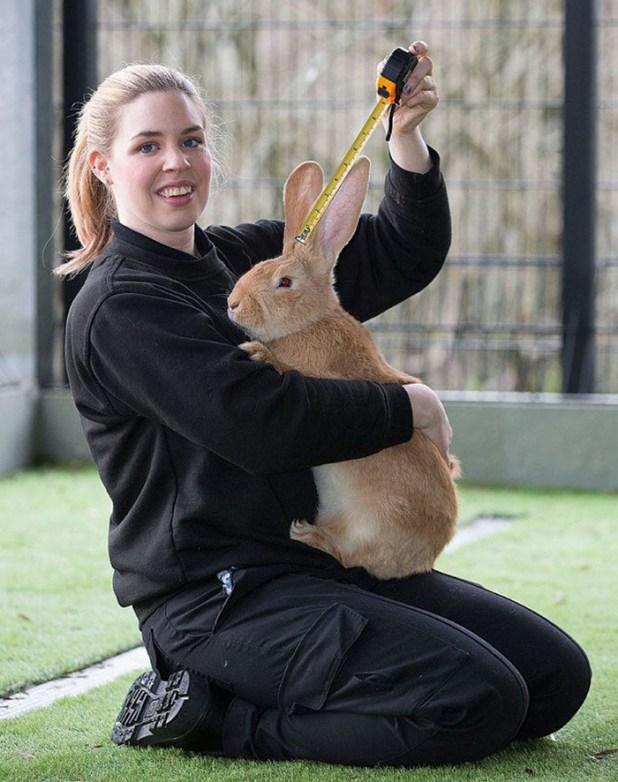 adopcion-conejo-gigante-continental-atlas-spca-4