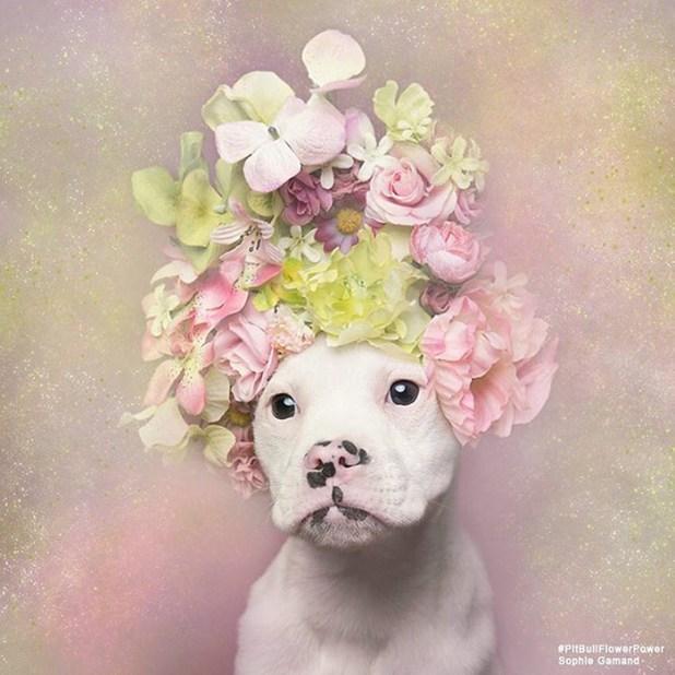 adoptar-perros-pitbull-flores-sophie-gamand-6
