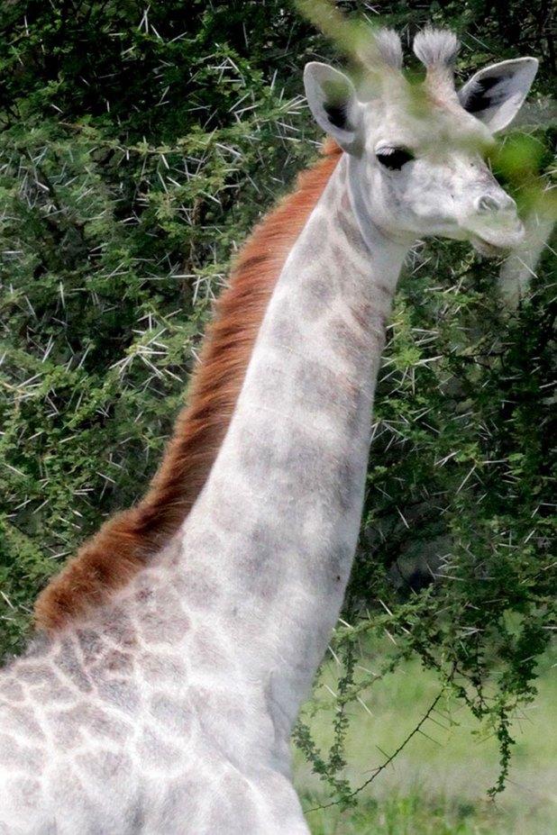 jirafa-blanca-omo-leucismo-tanzania-1