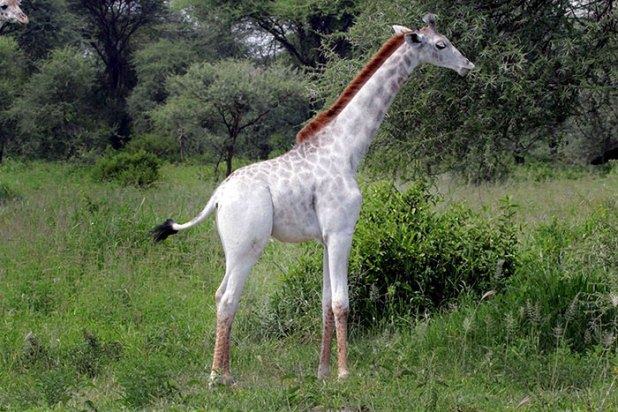 jirafa-blanca-omo-leucismo-tanzania-3