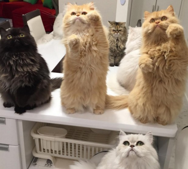 mujer-tiene-12-gatos-persa-chinchilla3
