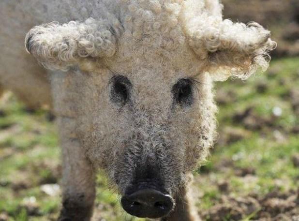 raza-cerdo-lanudo-mangalica-1