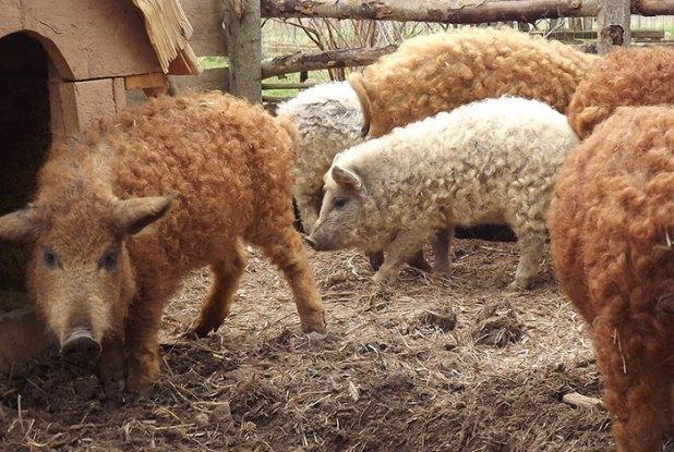 raza-cerdo-lanudo-mangalica-13